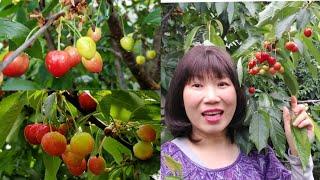 Hái cherry trong vườn nhà (Người Việt ở Mỹ )