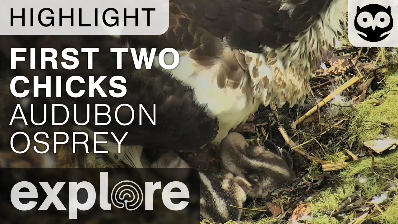 First Two Hatchlings - Audubon Osprey - Live Cam Highlight