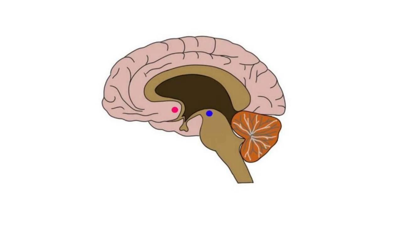 2-Minute Neuroscience: Nucleus Accumbens - YouTube