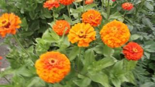 Orange King Zinnia