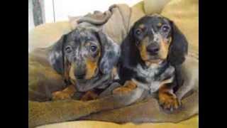 Lilly & Lando Dachshund Puppies