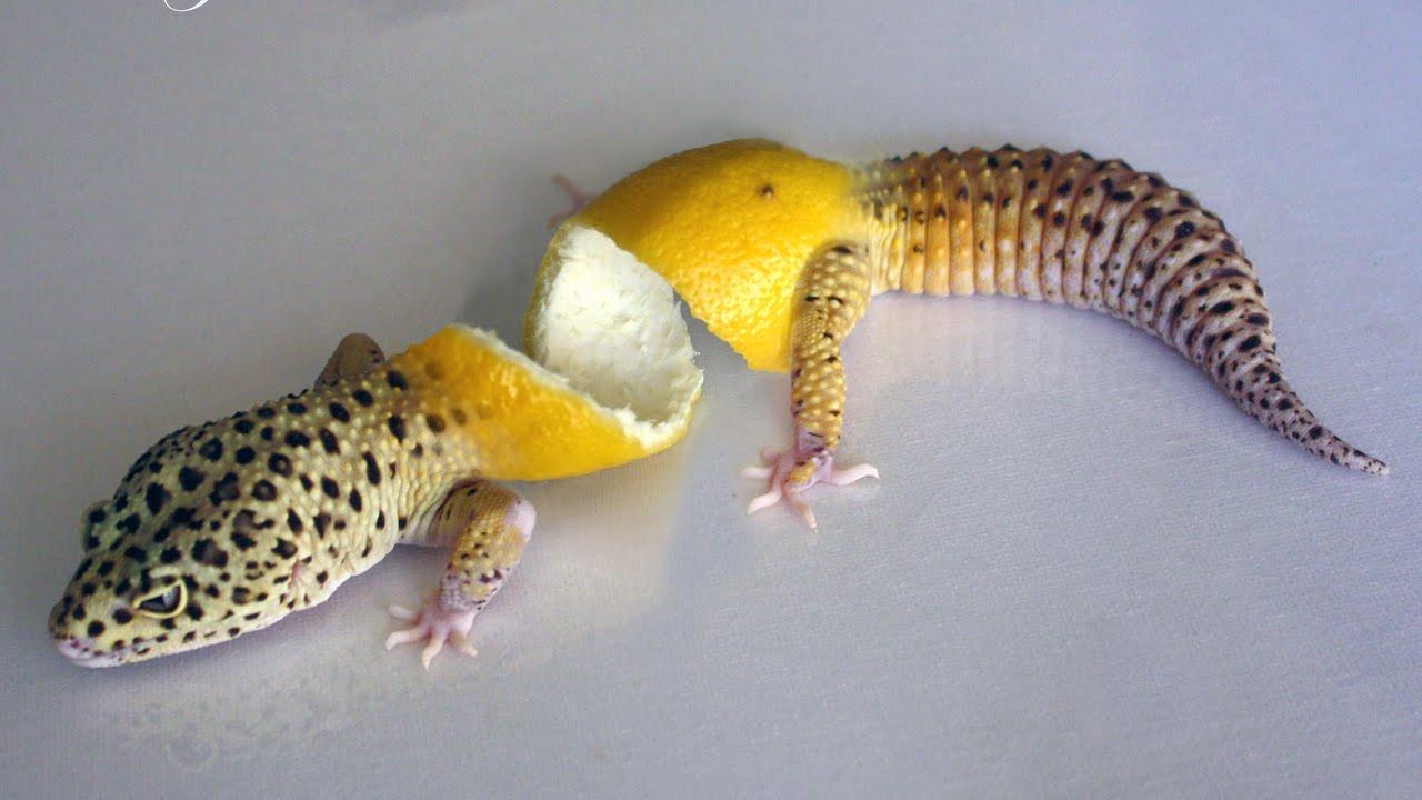 Leopard Geckos Hatching! - YouTubeLive Leopard Gecko Hatching