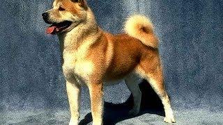 О породе собак - Акита-ину
