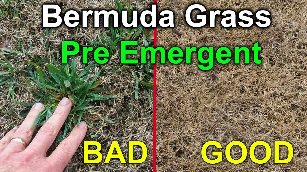 Preemergent For Bermuda Gr Amazing Results With Pre Emergent