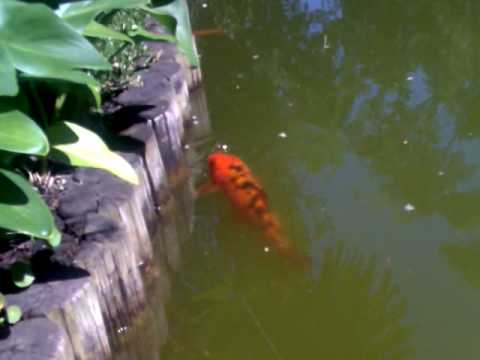 pez carpa naranja gigante youtube