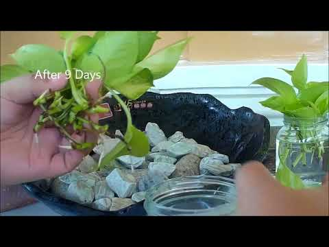 Neon Pothos Propagation in Water by Cuttings & Turned Into Table Top Water Garden