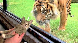 Cat Vs Tiger  Funny & Adorable Pet Reactions