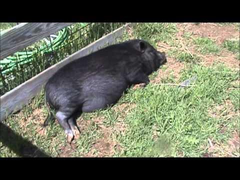 Pot-Bellied Pigs 101
