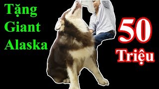 Tặng chó Giant Alaska 50 triệu mừng 70000 sub youtube - Khoa Pug