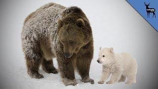 Where Do Polar Bears Come From?