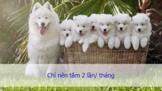 Những lưu ý khi nuôi và chăm sóc chó con Samoyed