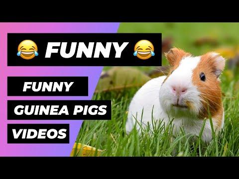Funny Guinea Pigs 🔴 Cute Guinea Pig Videos Compilation - Cobayas Adorables Vídeo Recopilación