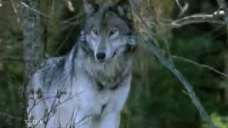 The magic of wolves - la magia dei lupi