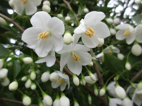 Fragrant Snow Bell Tree In Bloom