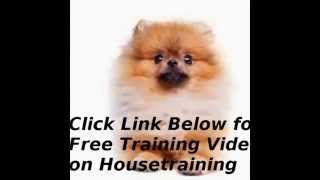 Train Your Pomeranian Not Be Pee And Poo In Your House!