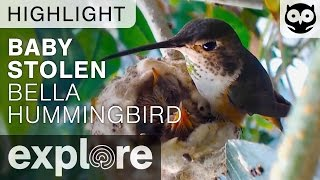 Baby Stolen From Bella Humming Bird Nest!!! - Live Camera Highlight