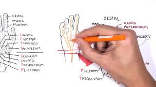 Clinical Anatomy - Hand, Wrist (palmar aspect/flexors)