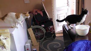Cat Fails To Land Correctly After Jump | 4K Ultra Hd | Original