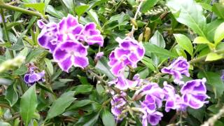 Duranta erecta blue - purple flowers Geisha Girl goldy green - HD 02