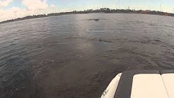 When Manatee attack - St Johns River Jacksonville