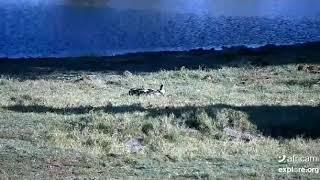 Injured African Wild Dog @ Tembe Jun 12 2020