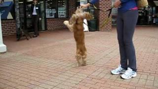 Brody - Cocker Spaniel