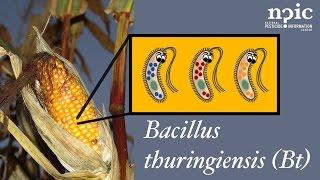 Bacillus (Bt)