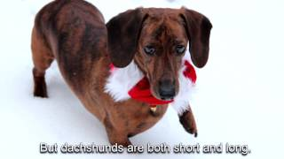 The Dachshund Song - Now With Words!