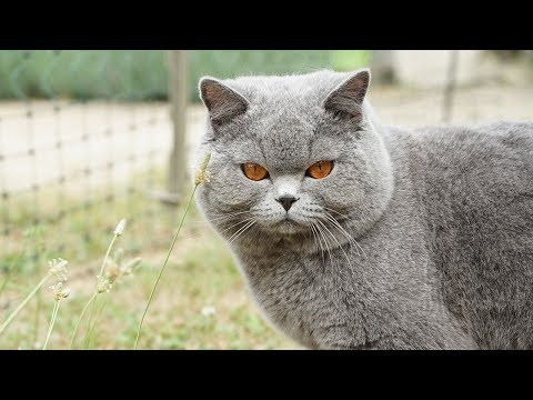How to Care for a British Shorthair Cat - Feeding Your Cat
