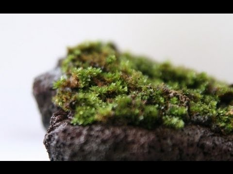 Just Arraived Star Moss From Singapore Youtube