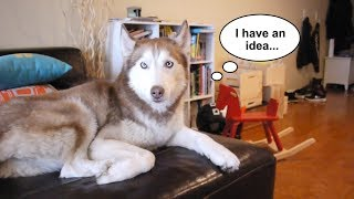 Laika the husky gets left home alone!