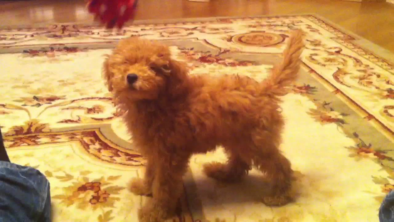 Teddy Bear Poodle Youtube