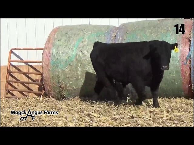 Mogck Angus Farms Lot 14
