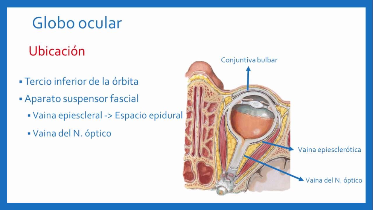 Anatomía - Órbita y contenido - YouTube