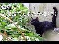 母猫に見捨てられた 子猫 保護録(10)〜背中ジャーンプ!〜Kitten abandoned by his mother cat.