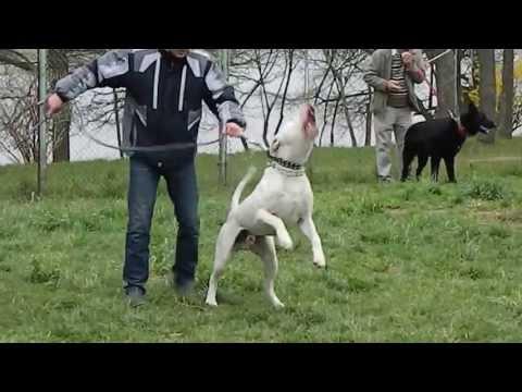 Dog argentinian  atac pe costum