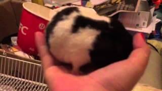 "Trailer Oficial: ""Pedro: o hamster"" (testando o imovie) @todemimimi"