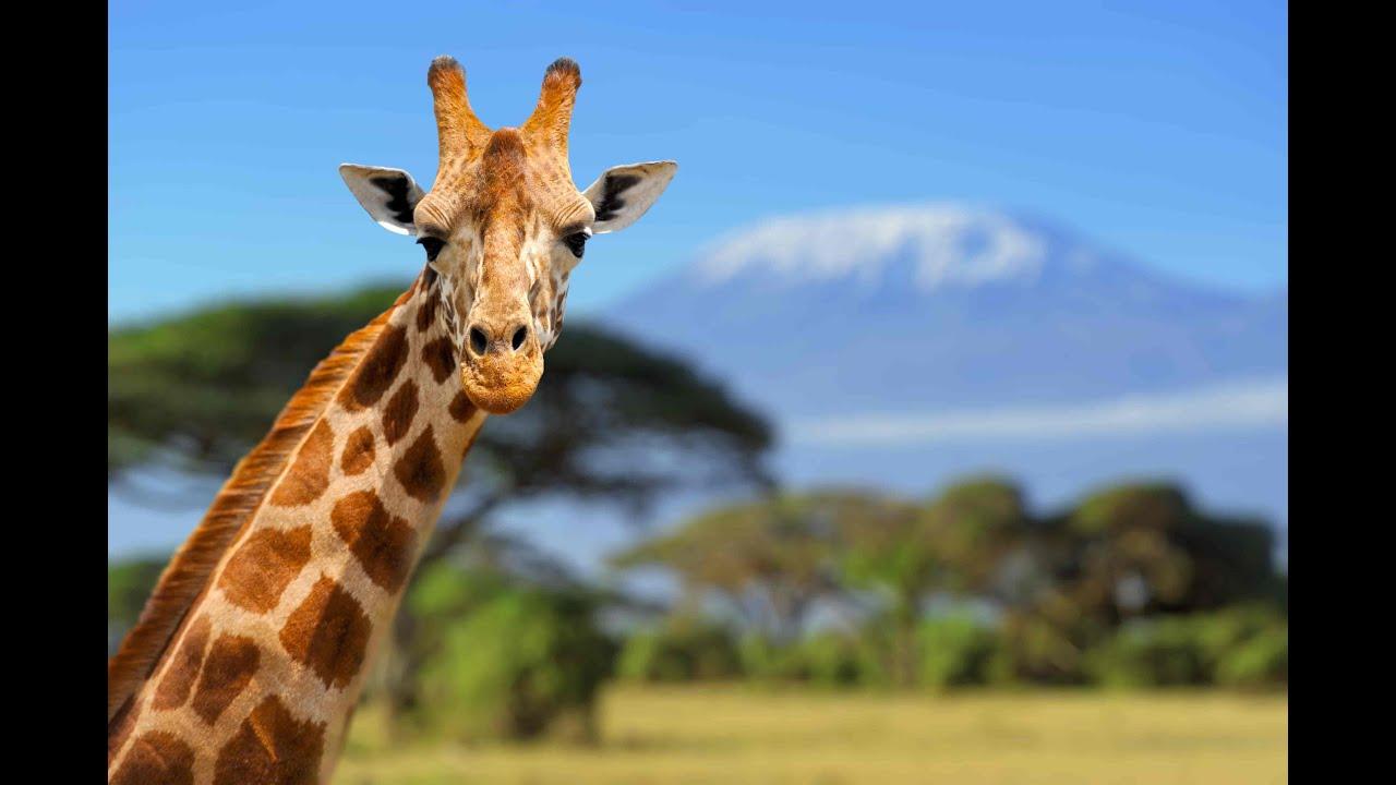 C mo evolucion el cuello de las jirafas youtube for Taxonomia de la jirafa