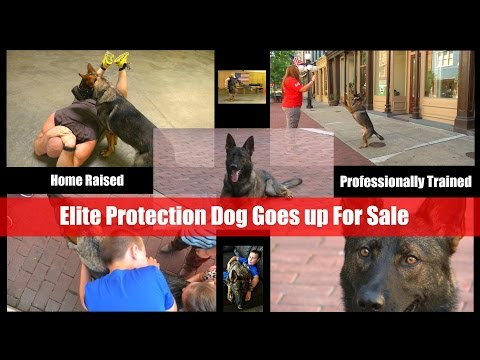 $100,000 Personal Protection Dog For Sale Video Brochure Home Raised Huggable Security 'SOLD'