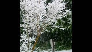 snow coral bark maple