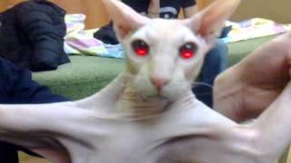 Египетская кошка)))