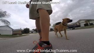 This Video Previously Contained A Copyrighted Audio Track. Due To A Claim By A Copyright Holder, The Audio Track Has Been Muted.     Ridgeback/shepherd Mix Off-leash Heeling Beside A Skateboard
