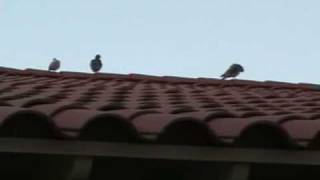 Get Rid of Pigeons - Roscoe at Commercial Location