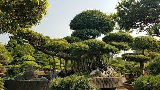 SH.3319.Bất ngờ  trước siêu cây Sanh dáng Hoành của Quang Hào Q2.Tp Hồ Chí Minh