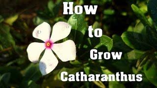 How to Grow Sadabahar Plant | Sadafuli | Catharanthus Plant Care & tips  // Mammal Bonsai