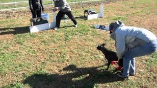 Kick  Box Release Border Staffy Puppy Flyball Training