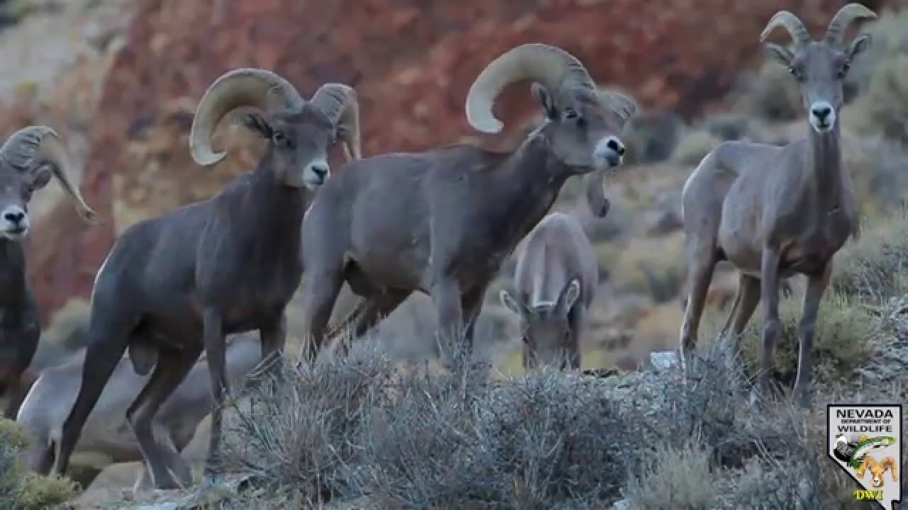 Desert Bighorn Sheep 2015 Youtube