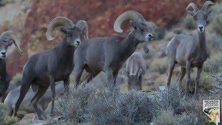 Desert bighorn sheep 2015