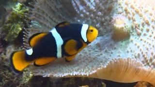Nemo der Clownfisch
