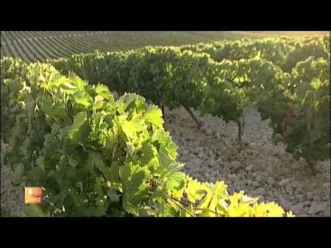Las viñas del Marco de Jerez 2013